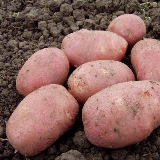 сорта картофеля  и описание