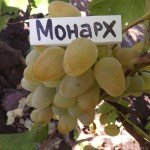 Монарх - столовый сорт винограда