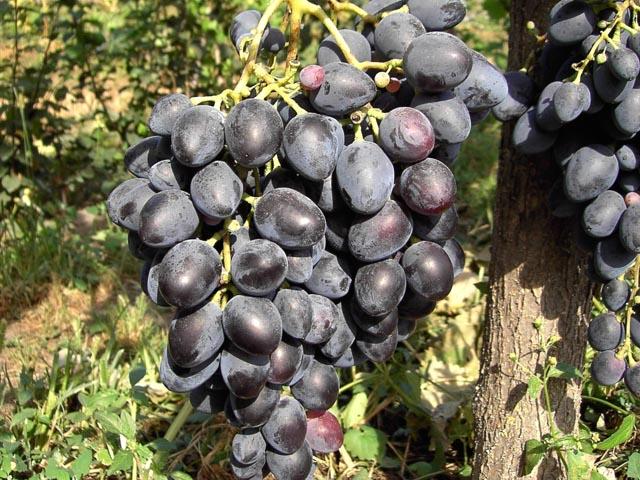 Виноград  и описание