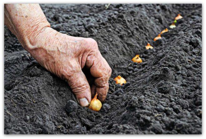 Яровой чеснок: когда сажать и как выращивать. Чеснок 98