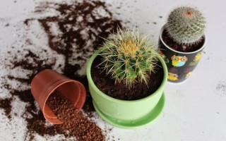 Как пересадить кактус в домашних условиях после покупки
