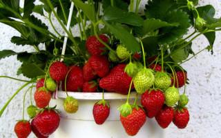 Выращивание садовой клубники в домашних условиях круглый год: как это делается