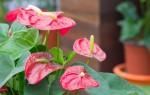 Хитрости садоводов: как заставить антуриум цвести в домашних условиях