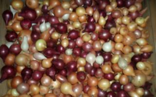 Выращивание озимого лука-севка: правила посадки и ухода, лучшие сорта