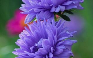 Правильная посадка астр под зиму: можно ли сеять цветы перед заморозками