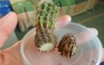 Если сгнил корень кактуса, можно ли спасти растение