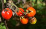 Чем опрыскать помидоры от фитофтороза: лучшие и самые доступные рецепты