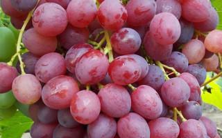 Виноград сорта Велес – не только вкусно, но и красиво