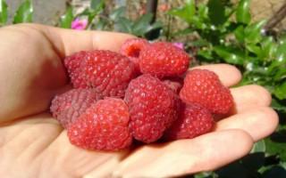 Как правильно выращивать малину сорта Полана?