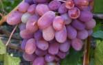 Сенсация – название сорта винограда говорит само за себя
