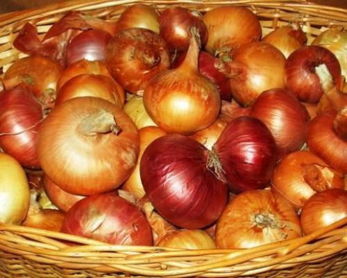 Почему огородникам стоит обратить внимание на лук-шалот: основные моменты выращивания