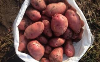 Описание сорта картофеля Беллароза и особенности выращивания