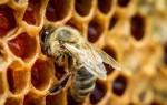 Полезные свойства пчелиного подмора и эффективные рецепты