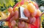 Все о винограде Юлиан: посадка, уход, болезни