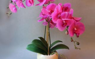 Как правильно ухаживать за орхидеей: советы начинающим