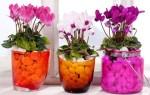 Как помочь комнатному растению: у цикламена желтеют и вянут листья – что делать