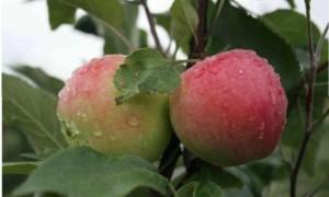Как ухаживать за яблоней Мантет, чтобы получить высокий урожай?