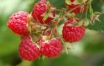 Агротехнические правила выращивания малины