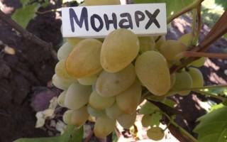 Виноград Монарх и особенности этого сорта