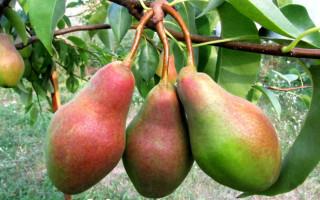 Груша сорта Талгарская красавица: неприхотливость и обильный урожай