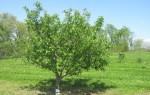 Чем лучше подкармливать молодые яблони весной: удобрения и уход