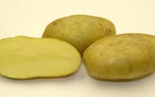 Картофель сорта Удача выбирают многие фермеры