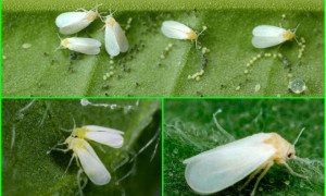 Как быстро избавиться от белокрылки: рабочие способы для теплицы, открытого грунта и комнатных растений