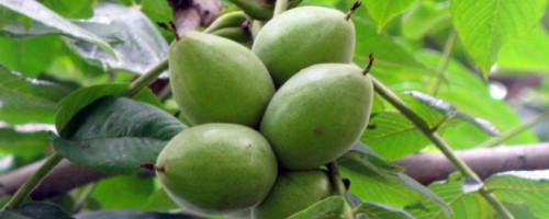 Маньчжурский орех: правила посадки и ухода