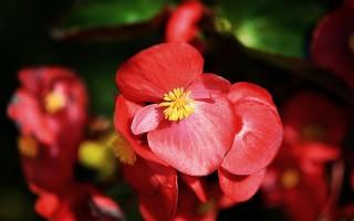 Вечноцветущая бегония: особенности посадки и ухода в открытом грунте