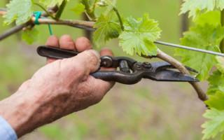 Объяснение для начинающих садоводов – осенняя обрезка винограда