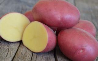 Все о картофеле Ред Скарлет: описание сорта, внешнего вида, агротехники