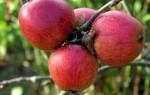 В чем необычность яблок сорта Розовый жемчуг?
