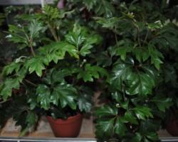 Циссус: особенности ухода за домашним растением