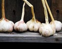 Технология выращивания большого урожая озимого чеснока
