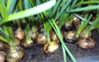 Лук Стурон: выращивание, уход, описание преимуществ