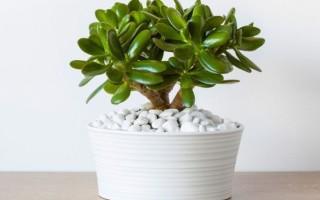 Как правильно ухаживать за денежным деревом в домашних условиях