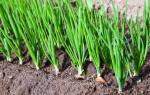 Как сажать лук-севок под зиму и какие сорта подойдут