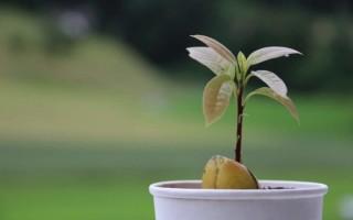 Что можно вырастить в домашних условиях из косточек