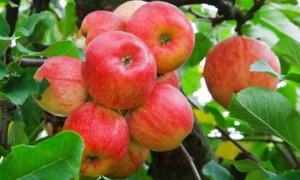 Какие удобрения нужно вносить под яблони весной для увеличения урожая