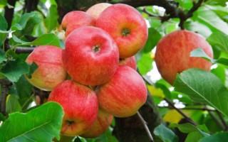 Какие удобрения нужно вносить под яблони весной и осенью