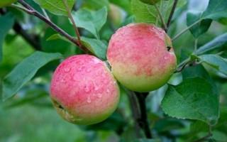 Выращиваем яблони в Подмосковье: правила осенней посадки