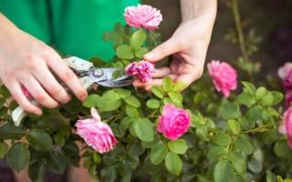 Описание сорта плетистой розы «Розариум Ютерсен»