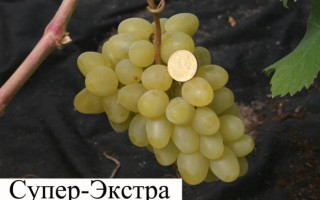 Любите виноград? Не откажите себе в этом удовольствии – виноград Супер Экстра превзойдет ожидания