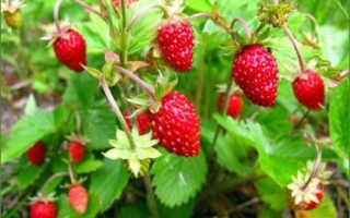 Особенности выращивания и ухода за ремонтантной земляникой в домашних условиях