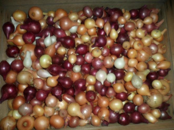 Озимый лук сорта и выращивание