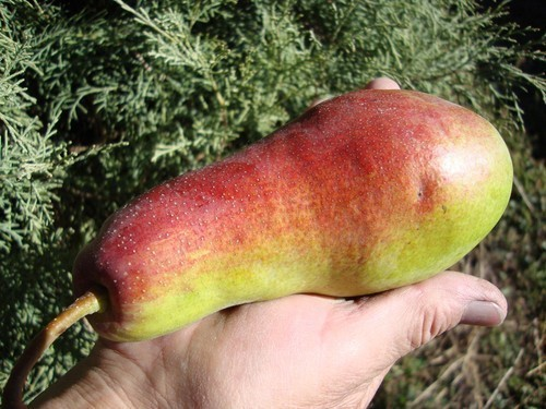 плод груши