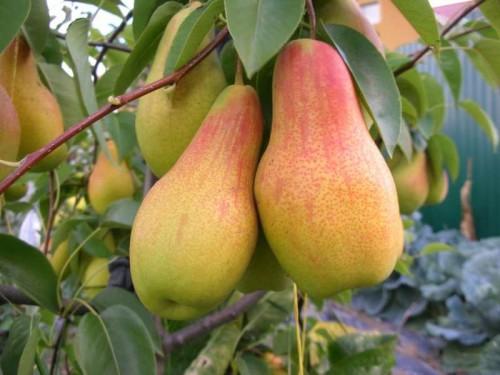 плоды груши сорта Талгарская красавица