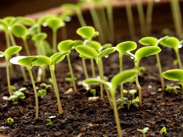 как посадить проросшую фасоль в землю