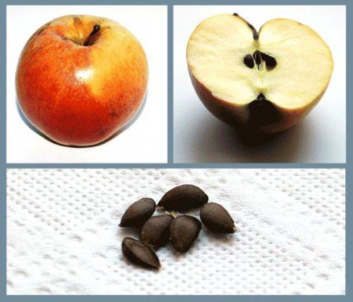 семечки яблони для посадки