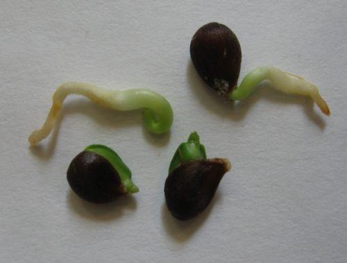 пророщенные семечки яблони
